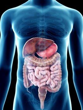 Illustration of a man's digestive system