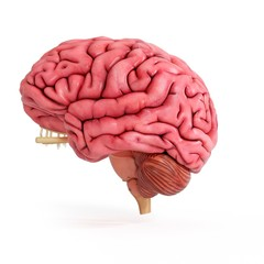 Illustration of a realistic human brain