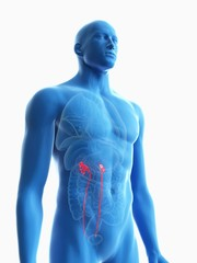 Illustration of a man's ureters