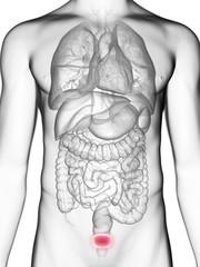 Illustration of a man's bladder
