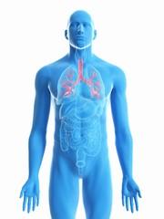 Illustration of a man's bronchi