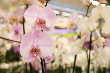 Beautiful blooming orchid flowers, closeup. Tropical plant