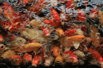 Colorful Koi Carps