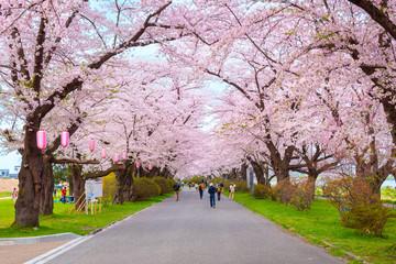Foto op Plexiglas Asia land Full Bloom Sakura at Kitakami Tenshochi park in Japan
