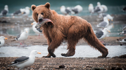 Russian Brown Bear Wall mural