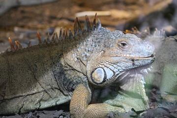 Iguana sombra