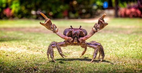Fijian mud crab on the grass with its claws open. The crab is menacing.