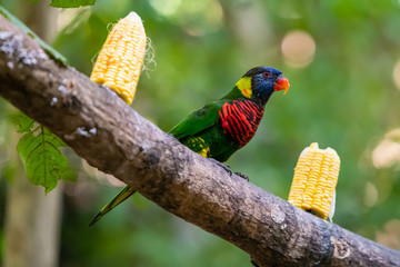 Rainbow Lorikeet on a feeding perch in a zoo