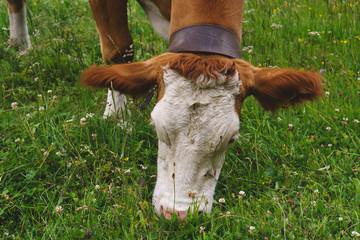 Kuh beim weiden auf der Alm 5