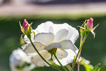White rose flower head with pink buds in backlit on blurred background closeup