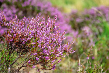 Close up of wild pink heather flowers, Dartmoor, UK