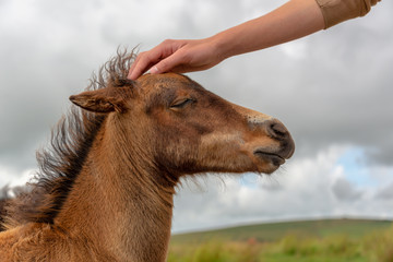 Hand of a boy petting the head of a Dartmoor pony foal, Devon UK