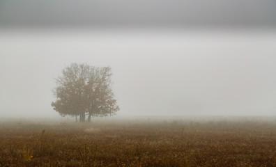 Pradera y roble melojo entre la niebla durante el invierno. Quercus pyrenaica.