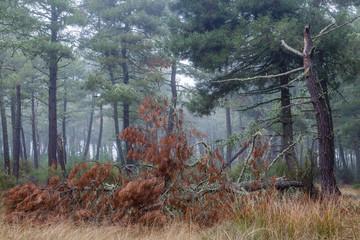 Bosque de pino negral en invierno, árbol caído y niebla de fondo. Pinus pinaster.