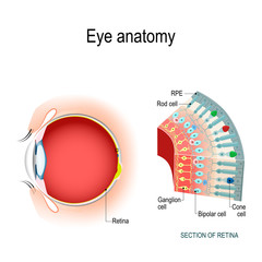 Eye anatomy. Rod cells and cone cells.