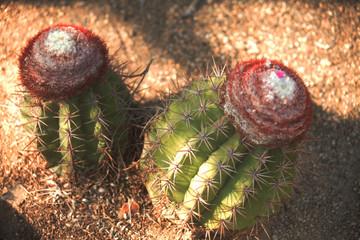 due cactus con fiori rossi
