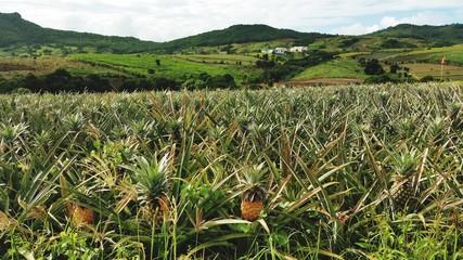 pineapple plantation in mauritius