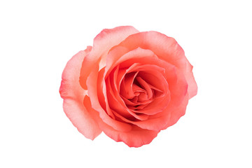A pink rose / Valentine's Day still life poster background material