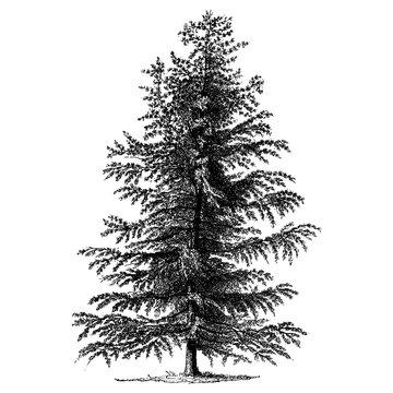 Larch Tree Vintage Illustrations