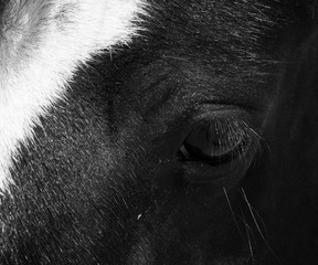 Horse photography Black And White Photography Horse print Close Up Horse Animal Printable Horse Wall Art