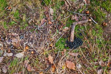 Hasenkot auf Waldboden. Hasen Rabbit manure on forest floor.