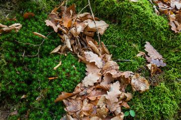 Laubblätter auf Moos. Fall leaves on moss.