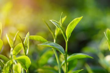 Fresh green tea leaf pekoe bud on bush at tea plantation