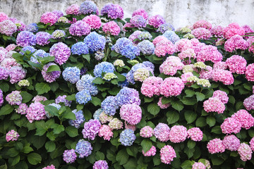 Fotomurales - Hydrangea is pink, blue, lilac, violet, purple flowers. Bushes are blooming in spring and summer in town street garden.