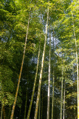 Green bamboo forest in Batumi botanical garden on a summer sunny day, beautiful tropical nature