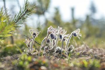 Eastern pasqueflower, prairie crocus, cutleaf anemone (Pulsatilla pratensis)