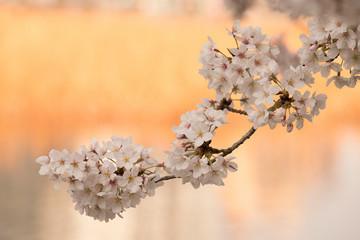 japan sakura cherry blossom background