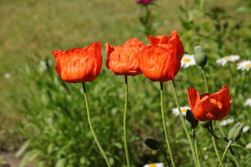 Poppies In Summer Countryside, Germany