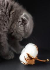 Grey Scottish fold kitten and cotton flower