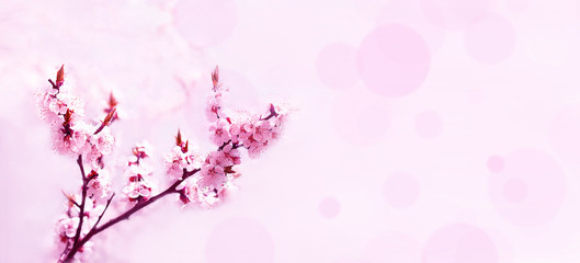 Cherry pink blossoms close up. Blooming cherry tree. Spring floral background