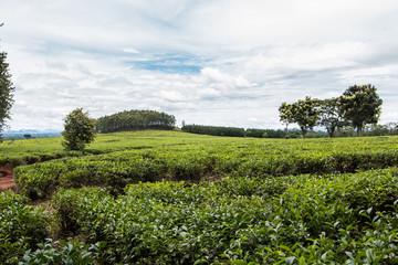 Beautiful green tea plantations of Mulanje in Malawi.