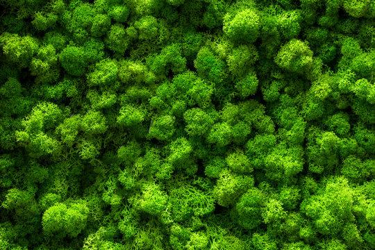 Reindeer moss wall, green wall decoration Cladonia rangiferina interior mock up textured