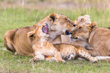 Lion Cub yawning with her mother