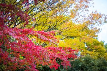Autumn leaves in Tama Central Park / Tama  City, Tokyo, Japan