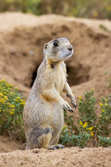 Prairie Dog Standing Near His Burrow