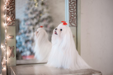 Wall Mural - Glamorous white Maltese in a stylish interior.