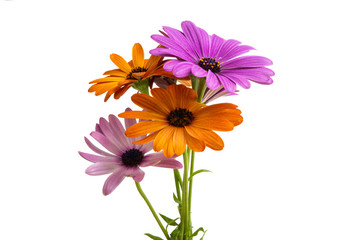 Osteosperumum Flower Daisy