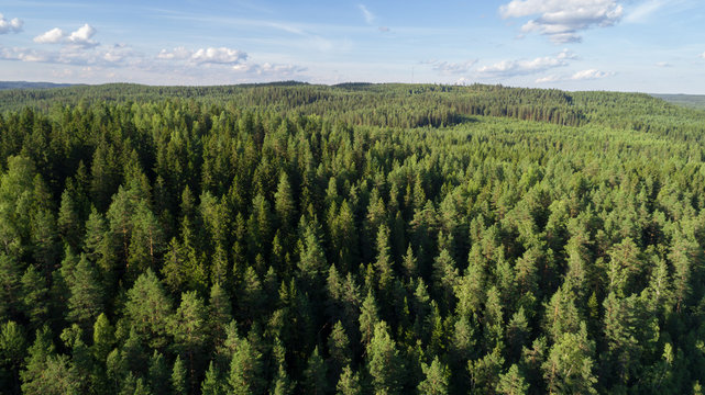 Aerial view of beautiful fir forest. Sunny summer day and blue sky.