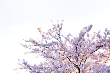 Sakura cherry blossoms branches against white isolated sky background, sun shine to sakura branches look warm to soft pink color in spring season in morning ,Japan.