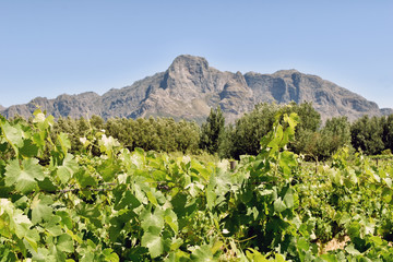 Cape Winelands - Vinyards and mountains