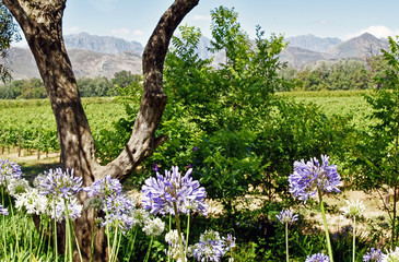 Cape Winelands - Vinyards, Mountains and Flowers - Allee Bleue