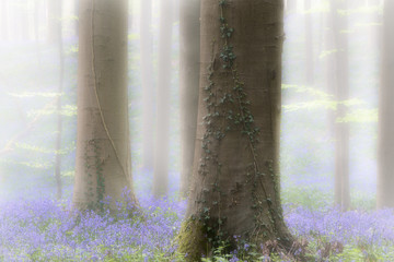 Garden Poster Forest Spring forest with early violet blue bells in the foggy mist. These wild flowers cover the floor of the woods with a carpet of color.. Bluebells are beautiful wildflowers.