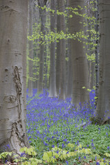 bluebell beech forest. A carpet of violet blue wild flowers covering the early spring woods.