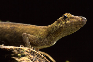 Anolis a small tropical lizard from the Amazon rain forest