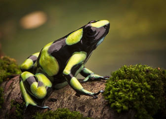 Tropical poison dart frog from the Amazon rain forest in Colombia. Dendrobates auratus a macro of a poisonous animal in the rainforest.
