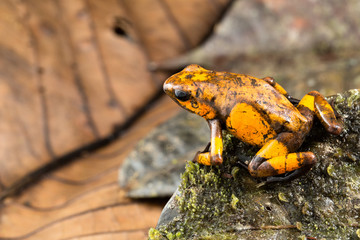 Dart frog Oophaga histrionica from the tropical rain forest of Colombia. A poisonous small jungle animal.